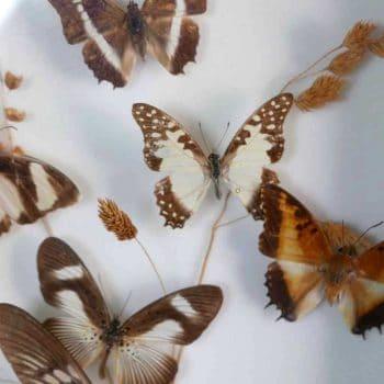Papillon naturalisé sous verre