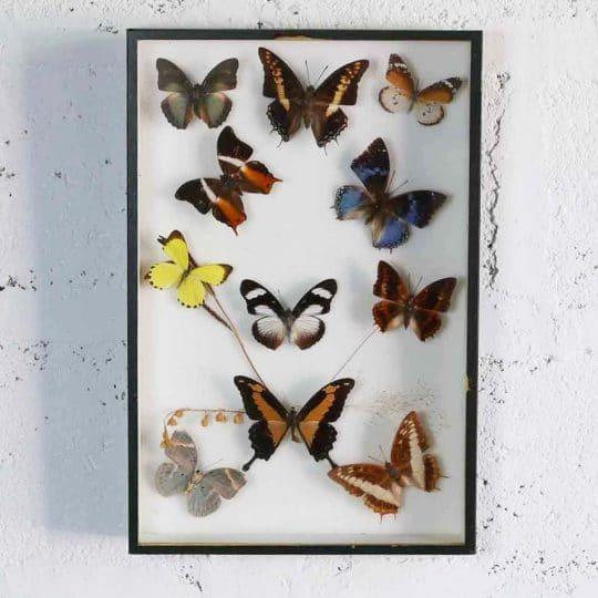 Papillon naturalisé petit jaune